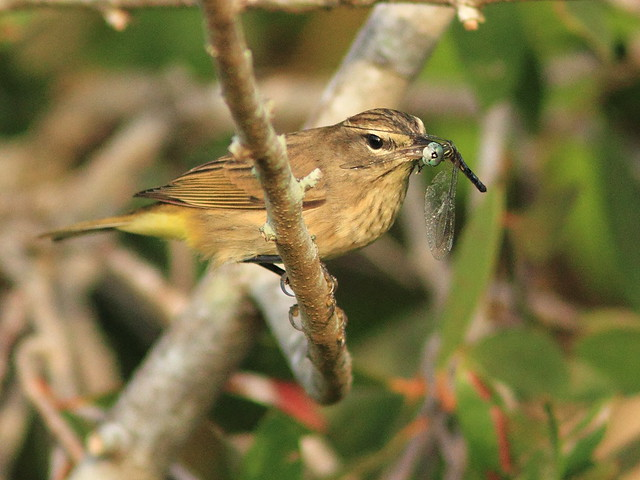 Palm Warbler with dragonfly 20151015