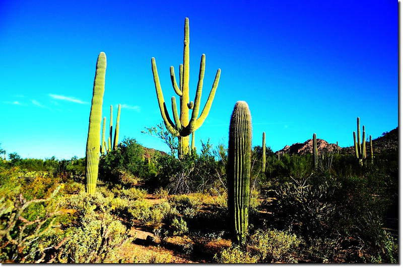 Saguaros growing on the national park 1