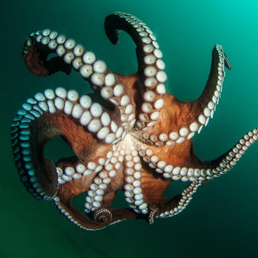 Octopus_Novikov