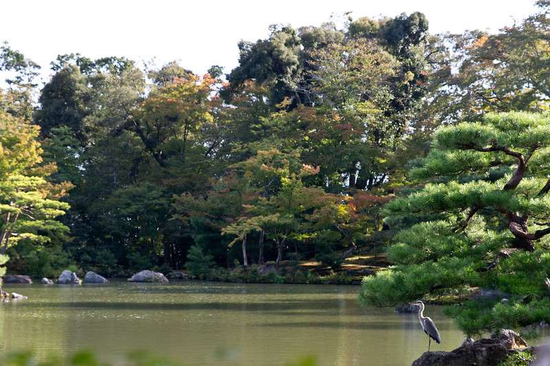 Heron on the grounds of Kinkaku-ji, Kyoto's Golden Pavilion