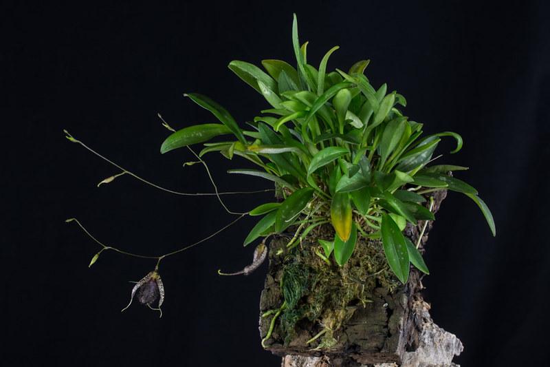 Miniatur-Orchideen 2. Teil - Seite 22 23645557416_de839a2764_c