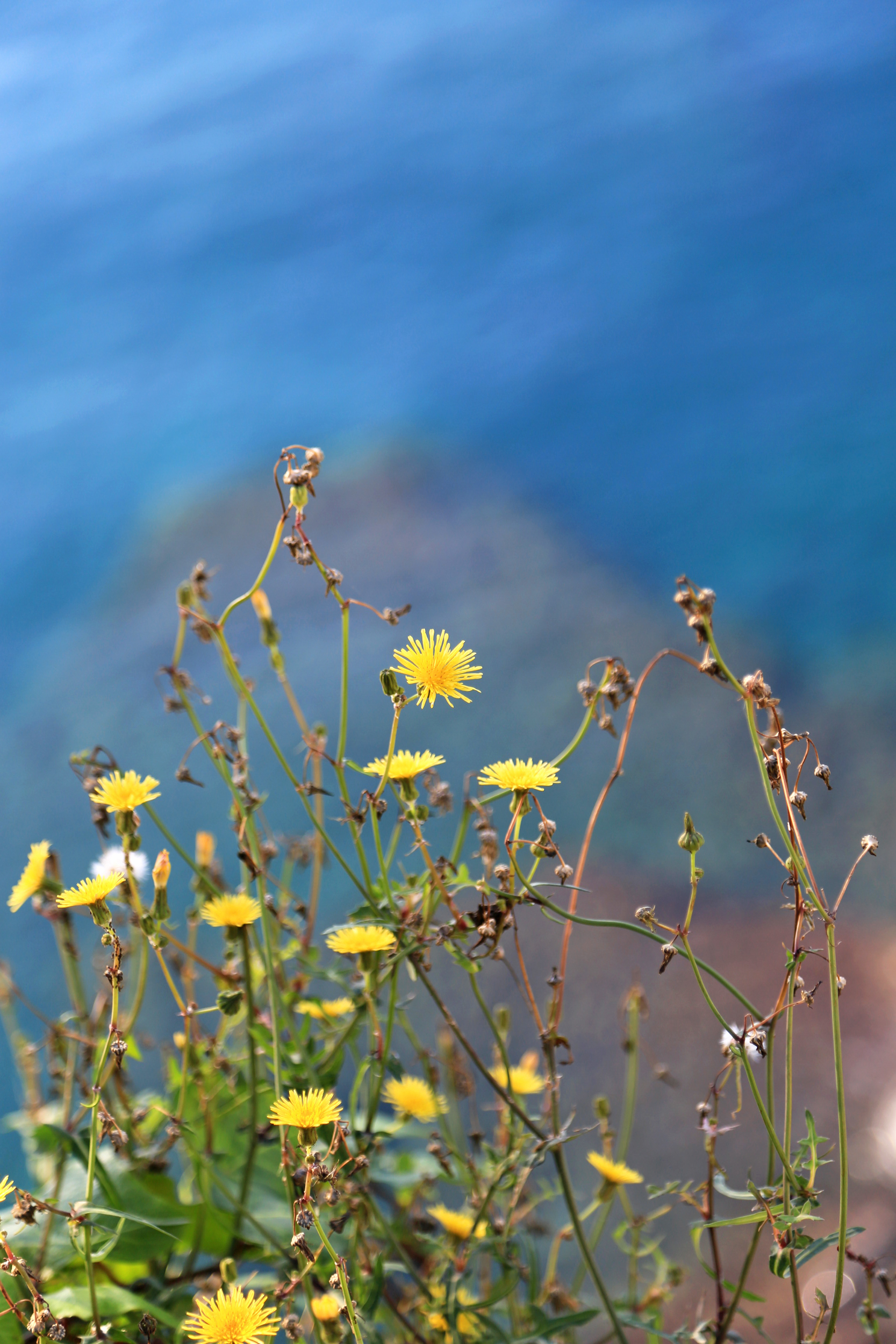 camogli-yellow-flower-over-the-sea