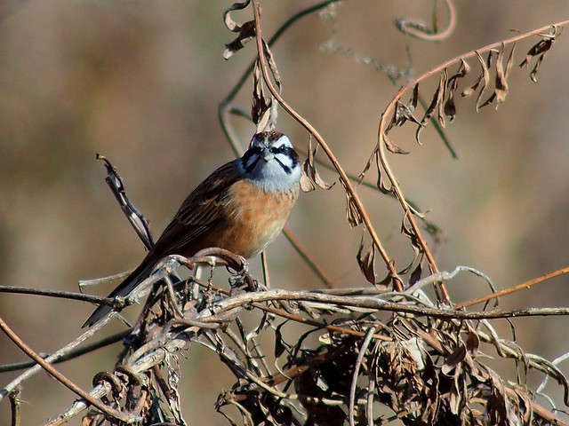 Meadow bunting (ホオジロ) male