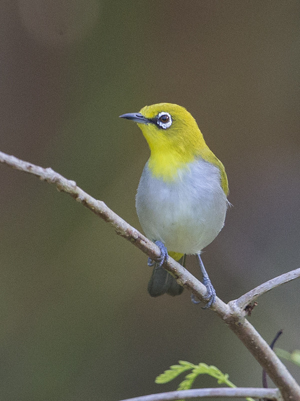 Sri Lankan White-Eye 1