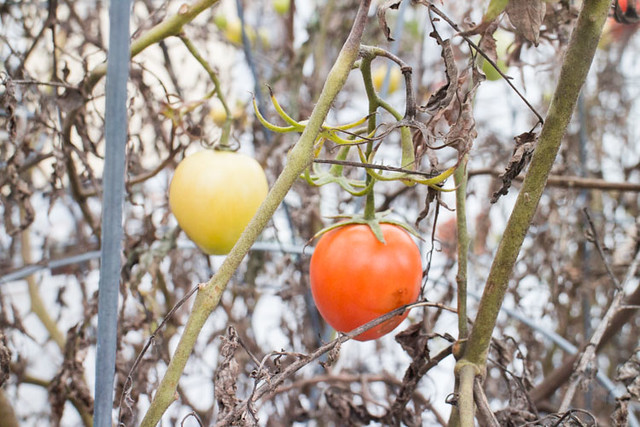 Picking Tomatoes in January_3