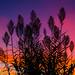 Cane Stalks at Sunrise