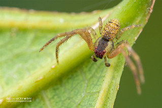 Crab spider (Spilosynema sp.) - DSC_4371