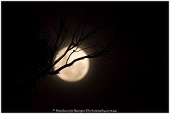 Supermoon behind tree