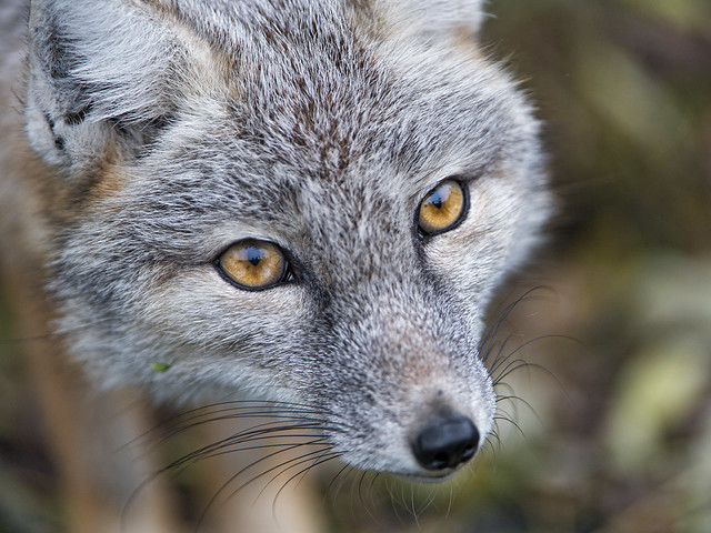 Corsac fox very close
