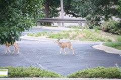 2015-8-25 Deer at the Marriott after LOG