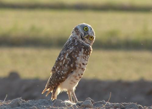 Burrowing owl (tilting head right)