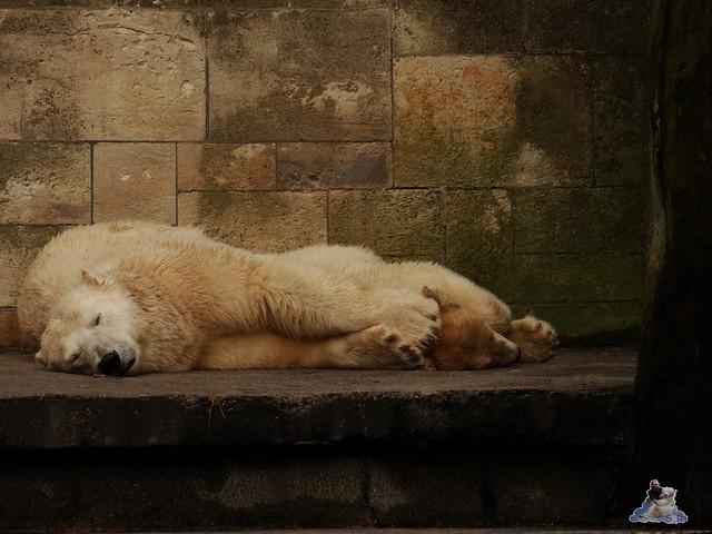 Eisbär Fiete im Zoo Rostock 15.08.2015 Teil 3 072