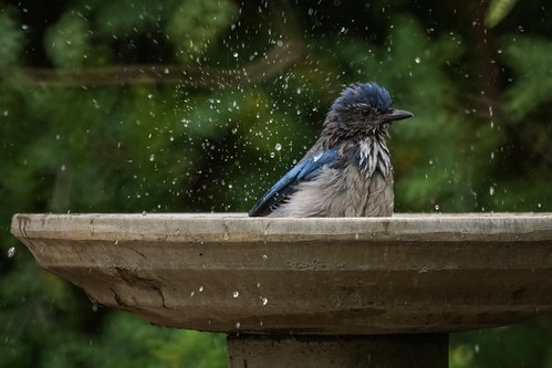 Scrub Jay in the bird bath