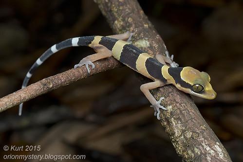 Cyrtodactylus australotitiwangsaensis_MG_2795 copy