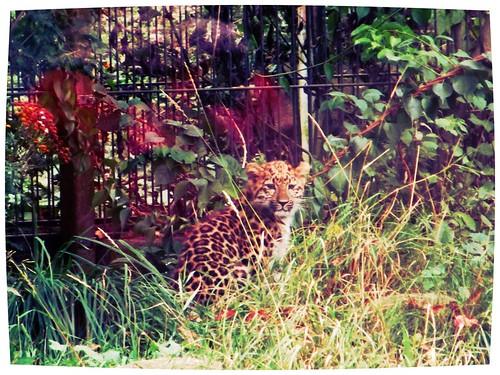 amurinleopardin pentu