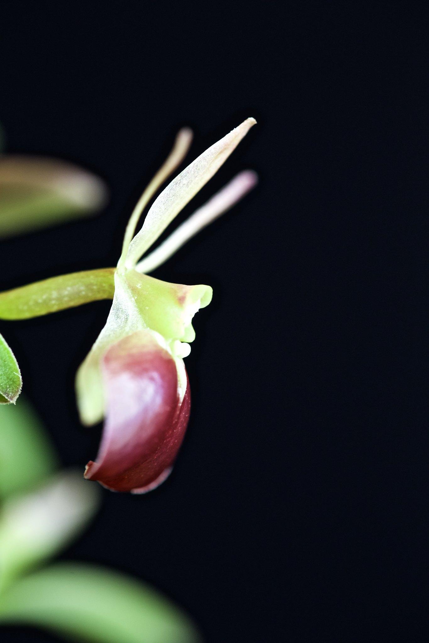 Epidendrum Porpax 21845969221_164de83b2e_k