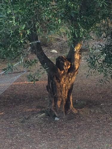 light tree sunrise kefalonia olivetree amazingtree