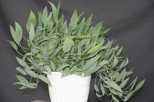Wintering Pelargonium lanceolatum