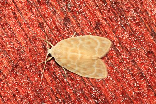 Schistophleps cf fulvioides (Erebidae: Arctiinae: Lithosii ...