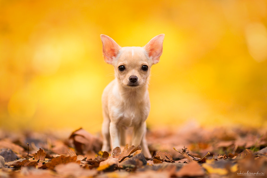 puppy bobby in autumn