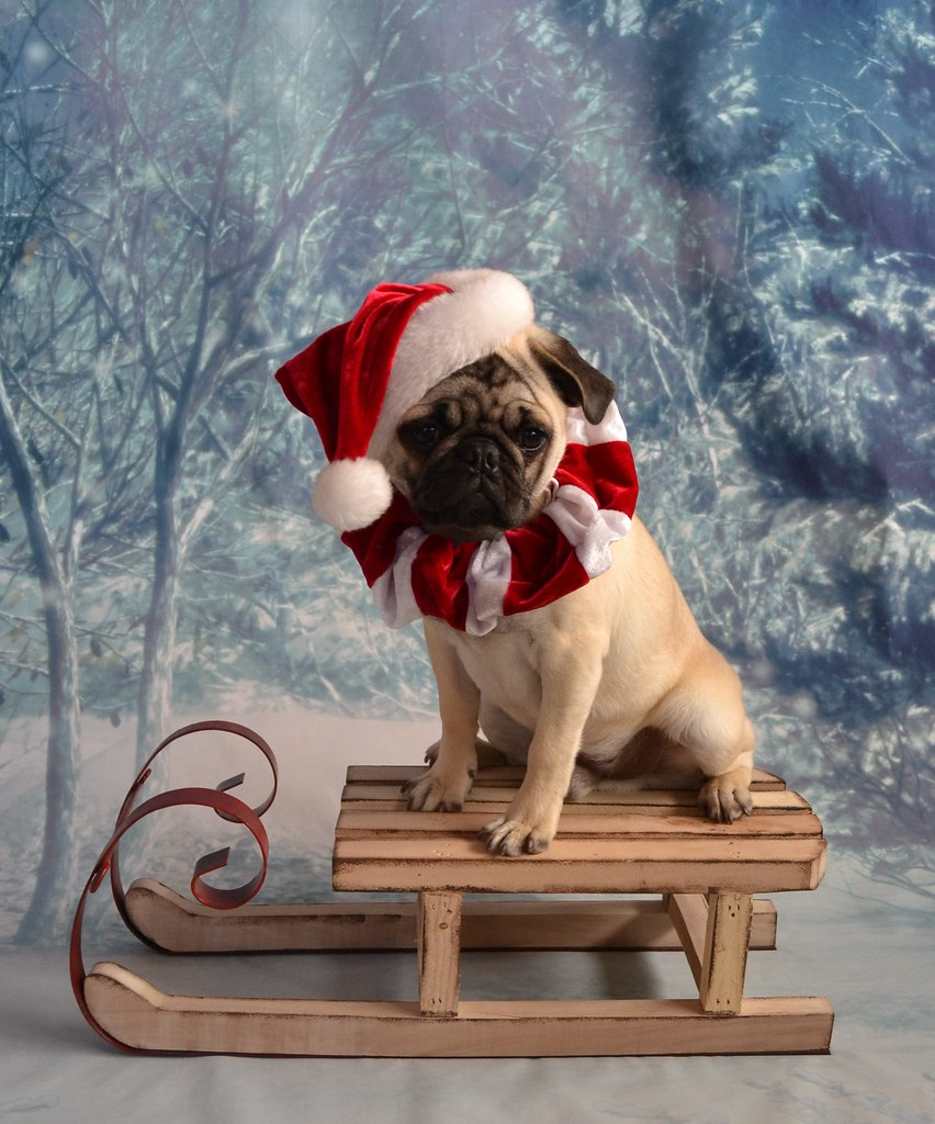 Christmas Pug Santa Claus