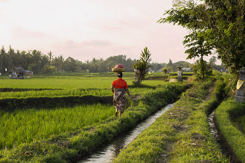 A woman walking along rice terrace at Ubdo Bali.