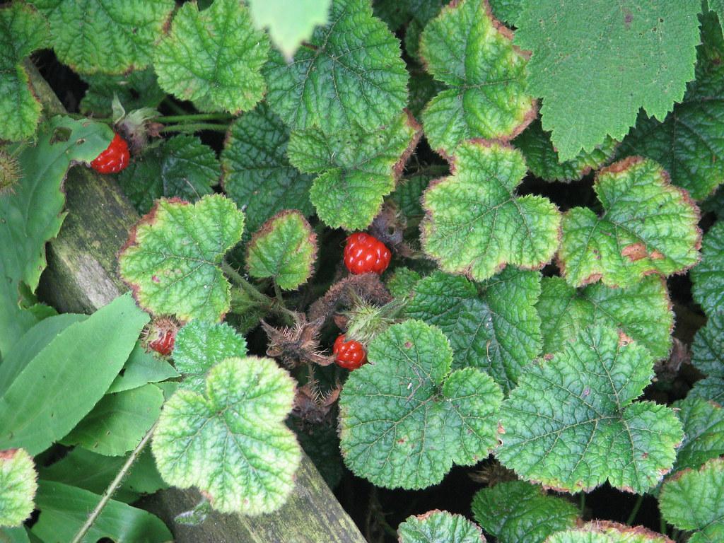 Rubus pectinellus trilobus