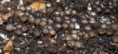 Bird's Nest Fungus!