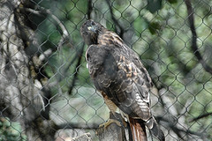 D70-0812-046 - Red-tailed Hawk