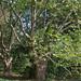 Small photo of Platan Tree