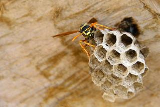 Wasp New Zealand