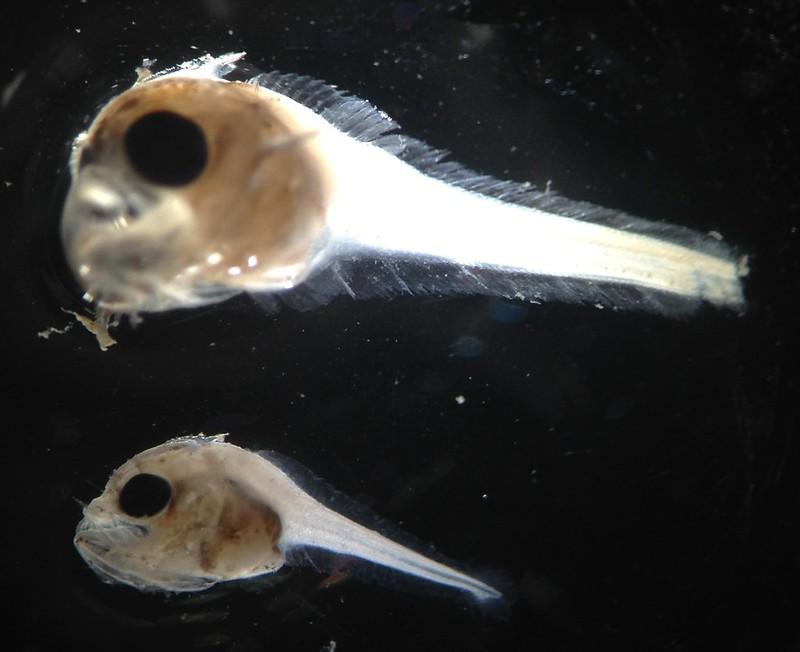 Acanthocepola krusensternii larvae