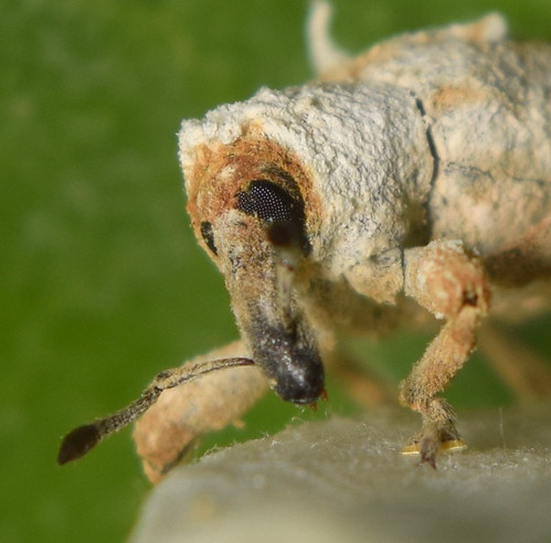 Long Nosed Weevil