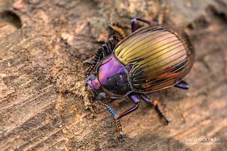 Darkling beetle (Eucyrtus gloriosus) - DSC_6179