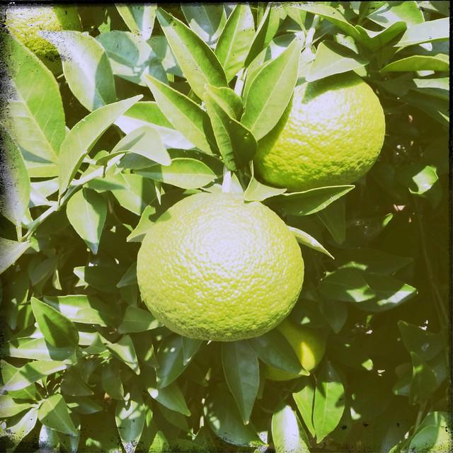Citrus unshiu (Unripe fruit)