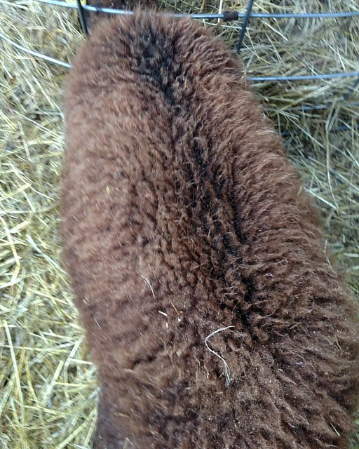 Damp weather shows off crimp and increasing length of beautiful red-brown Soay fleece.