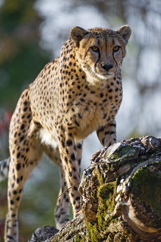 Cheetah walking on the log