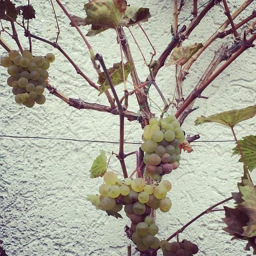 Letzte #Ernte im #Garten  #trauben #traube #natur #obst #garten #wein #nature #osten #westen #heim #gesund #weinblatt #weintraube #rebe