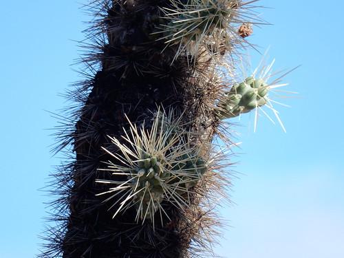Lost Dutchman State Park - cholla kaktus