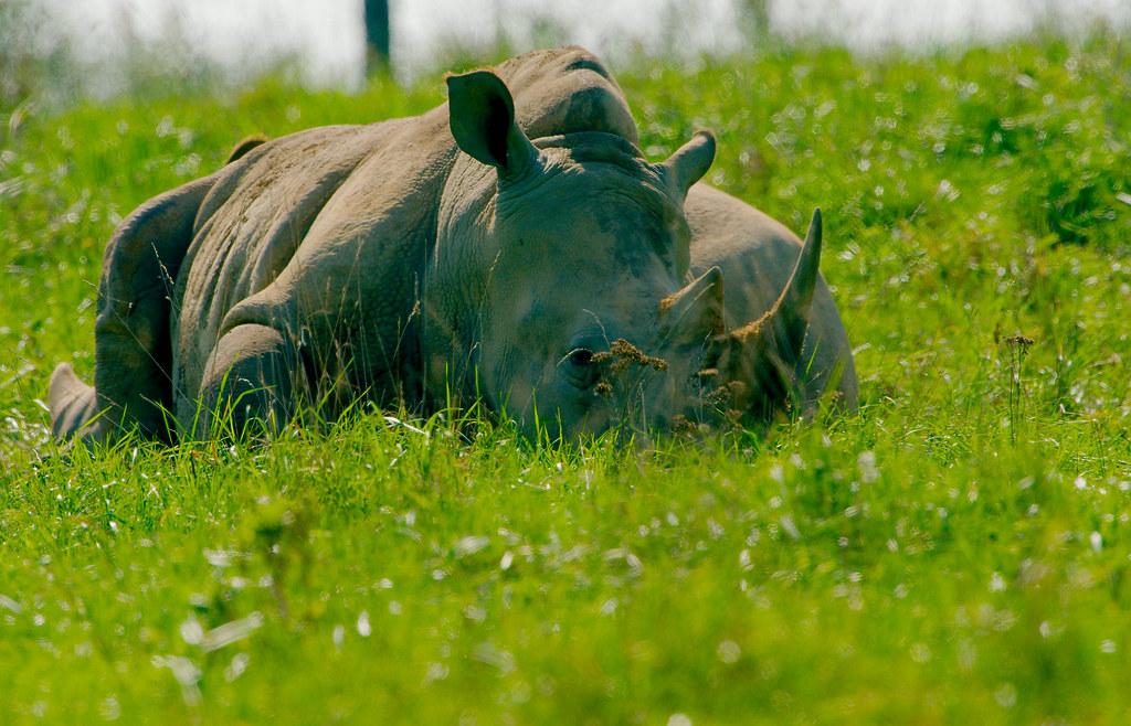 Greater One Horned Asian Rhino (Rhinoceros unicornis)_4