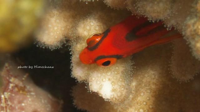 ちょろちょろ動きまわってたけど久しぶりに見たので、ベニゴンベ幼魚♪