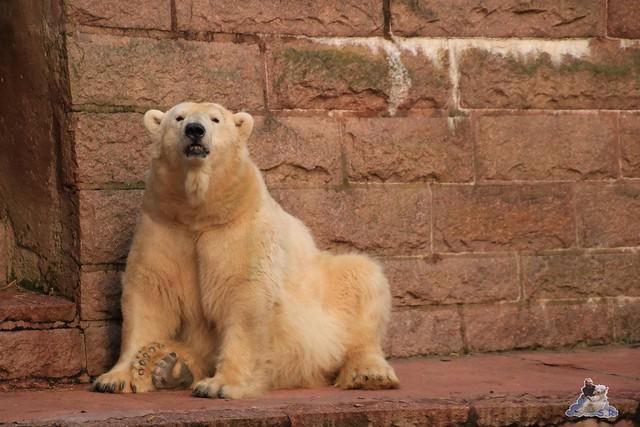 Eisbär Fiete im Zoo Rostock 13.12.2015  284
