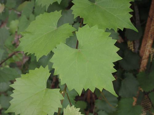 Grape - Muscadine Leaves IGFB12