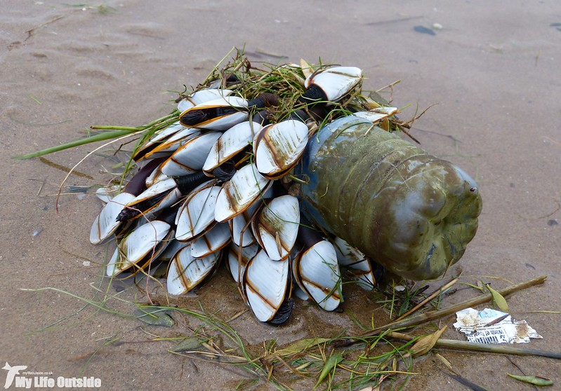 P1160812 - Goose Barnacles, Whiteford