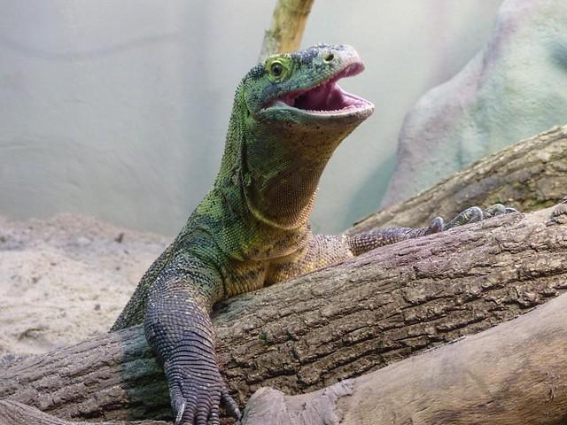 Komodowaran, Zoo Frankfurt