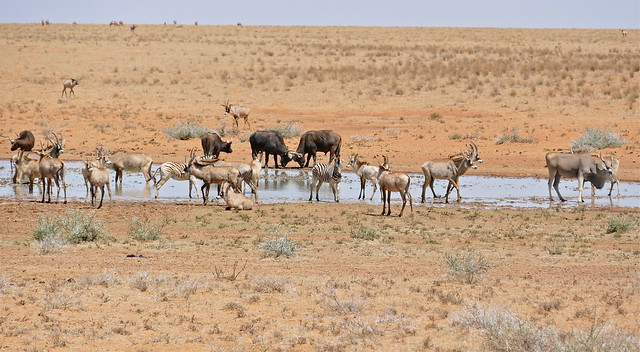 Roans with Buffaloes, Zebras and one Eland at water hole ...
