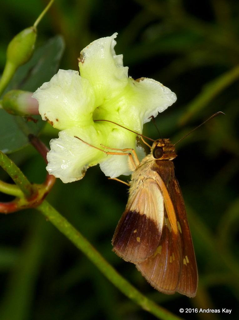 Skipper, Hesperiidae on Apocynaceae