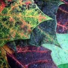 Autumn Leaves by the barrow load. #autumn #autumnal #decay #devon #leaf #leaves #coloursofautumn #colorsofautumn #lovewhereyoulive