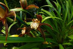 Cymbidium tracyanum 'Citron Sunray' species orchid 11-16
