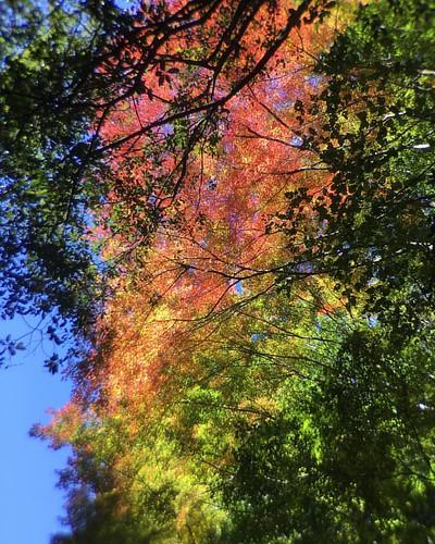 紅葉 #🍁 #autumnleaves #telephoto #olloclip